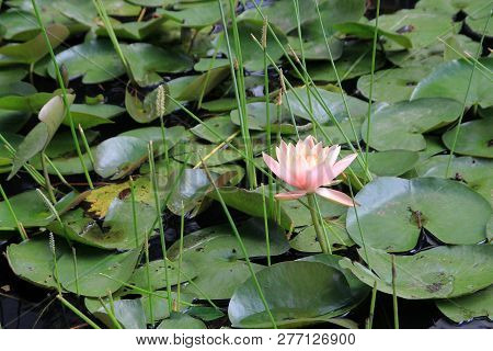 Single Pink Lotus On The Water Surface
