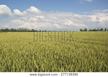 Green Field With Wheat. Rural Landscape With Farmland