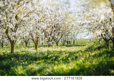 Bright ornamental garden with blooming lush trees on a sunny day. Concept of the ecology of organic products. Flowering orchard in spring time. Scenic image of trees in exotic garden. Beauty of earth.