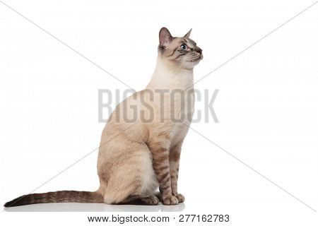 side view of seated grey burmese cat with blue eyes looking up to side on white background