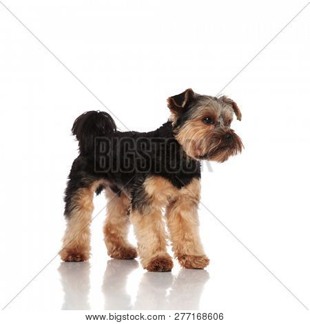 side view of adorable yorkshire terrier standing on white background and looking to side