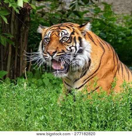 Sumatran Tiger.  Beautiful Tiger In Ambush. Wildlife.