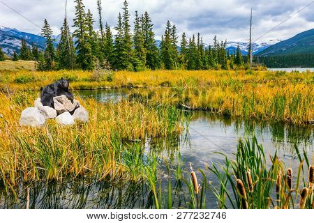 Gorgeous black bear resting on the stones among the grass. The valley along the Pocahontas road.  Concept of ecological, active and photo-tourism. Lake in Rocky Mountains