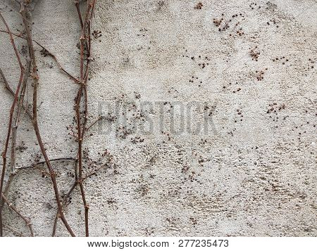Creeper Plant Vines Growing On A Rustic Grey Wall