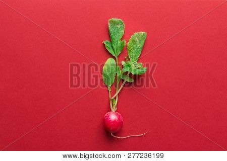 One Fresh Raw Ripe Radishes With Green Leaves On Red Background. Minimalist Creative Style. Gardenin