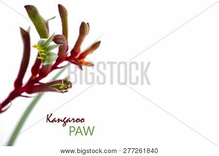 31ac6c4af Australian Native Kangaroo Paw Flower On White Background With Copy Space.