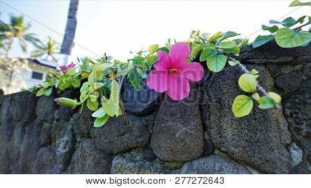 A Gorgeous Pink Hibiscus Flower Growing Over A Lava Rock Wall.