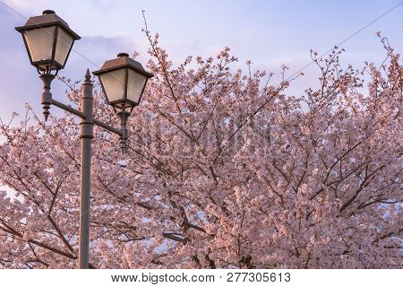 Cherry Blossom In Spring Season, Japan. Cherry Blossoms Will Start Blooming Around The Late March In