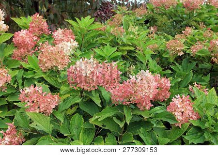 The Blooming Bush Of The Pink Hydrangea