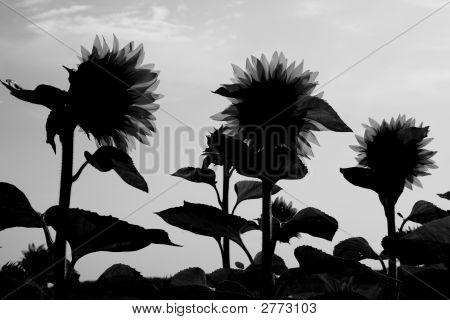 Yellow Sentinels In Black And White