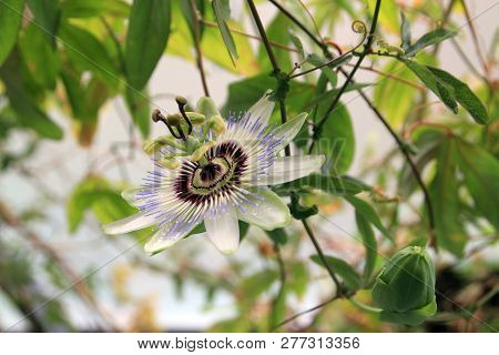 Single Passion Flower On The Thin Branch
