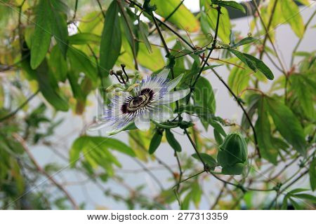 Single Blue Passion Flower On The Branch