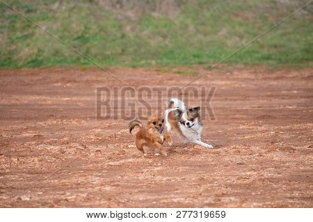 Two Active Playful Little Dogs Chihuahua Running On Ground In Pursuing With Copy Space