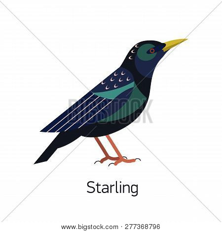 Starling Isolated On White Background. Small Passerine Bird With Colorful Plumage. Gorgeous Wild For