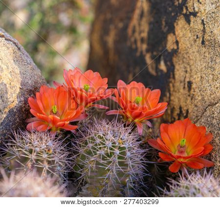 Orange cacti flowers blooming in spring sunshine in Arizona desert.