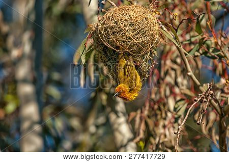 A Male Cape Weaver, Ploceus Capensis, At A Nest At Matjiesfontein Near Nieuwoudtville In The Norther