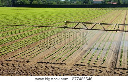 Automatic Irrigation System In The Field With Fresh Shoots Of Tender Lettuce In The Summer In The Pl