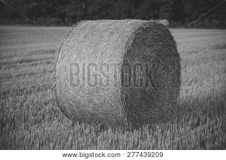 Fodder, Forage, Haymaking. Hay Bale Dry On Field, Agriculture. Agriculture, Farming, Ecology. Harves