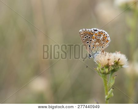 Beautiful Adonis Blue Butterfly ( Polyommatus Bellargus ) Female Sitting And Resting On A Plant On A