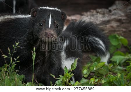 Striped Skunk (mephitis Mephitis) Doe Peers Out From Ground Summer - Captive Animal
