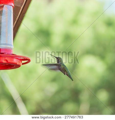 A Hummingbird In Flight At A Feeder, Against A Background Of Out-of-focus Trees. Sedona, Az, Usa.