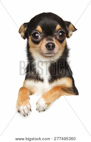 Portrait Of A Chihuahua Dog Puppy Above Banner. Baby Animal Theme, Front View