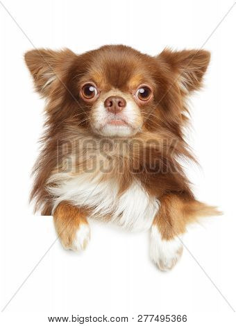 Close-up portrait of a Longhaired Chihuahua dog above banner, isolated on white background poster
