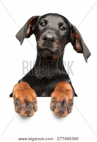 Cute Young Doberman Pinscher, Above Banner, Isolated On White Background. Front View