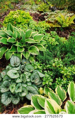 Brunnera Jack Frost Planted Together With Hostas In Shady Garden. Shade Tolerant Plants For Garden D