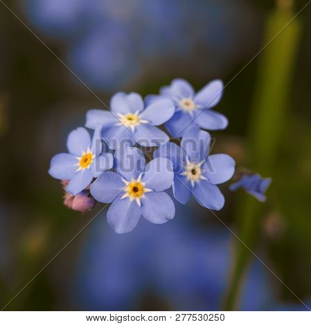 Forget-me-not. In The Garden. Forget-me-not Flowers. Spring, Summer In The Garden.