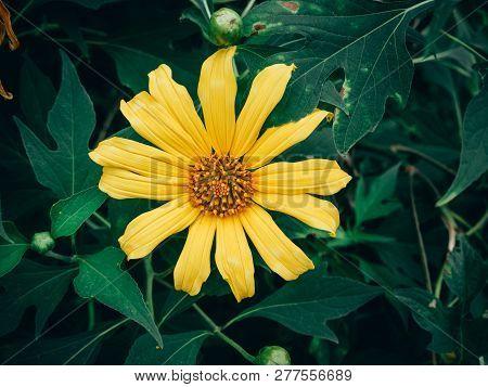 Yellow Tree Marigold, Mexican Tournesol, Mexican Sunflower, Japanese Sunflower, Nitobe Chrysanthemum