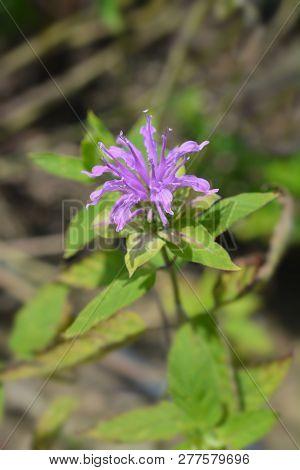 Bee Balm Violacea - Latin Name - Monarda Didyma Violacea