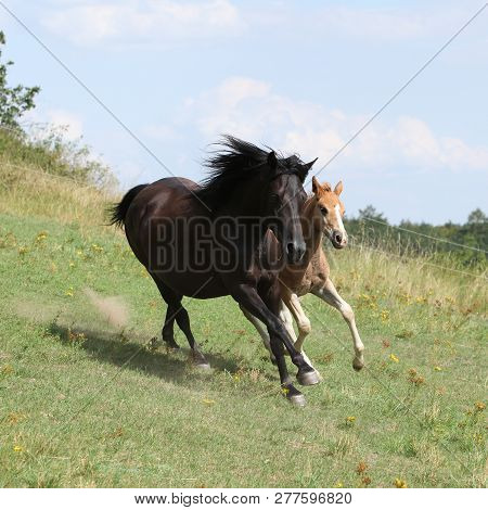 Running Mare With Foal On Pasturage