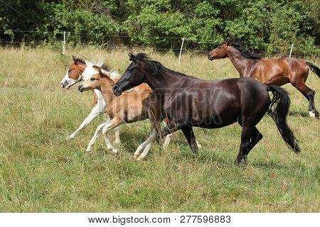Batch Of Horses Running On Pasturage
