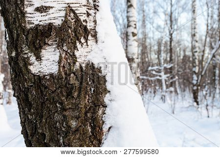 Snow-covered Cracked Bark Of Old Tree In Birch Grove Of Urban Park In Winter Twilight