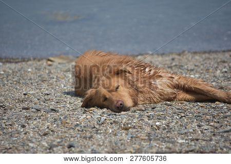 Sleeping Nova Scotia Duck Tolling Retriever Dog On A Small Stone Beach.