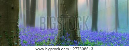 early morning light spring forest with violet blue bells in the foggy mist. These wild flowers cover the floor of the woods with a carpet of color.. Bluebells are beautiful wildflowers. panorama