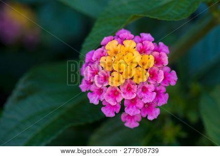 Lantana flower in full bloom during summer