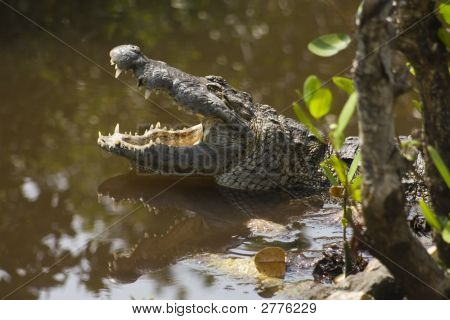 A crocodile swiming in a swamp ready to atack poster