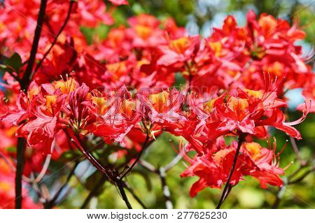 Lavish coral pink azalea blossom on a branch. Spring garden in germany. poster
