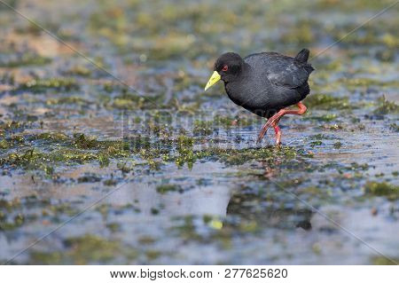 Lone black crake wading carefully across a muddy pond to look for some food poster