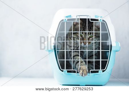 Gray Cat In A Cage For Transportation. Cat Paw Trying To Open The Cage Carrying For Animals. Relocat