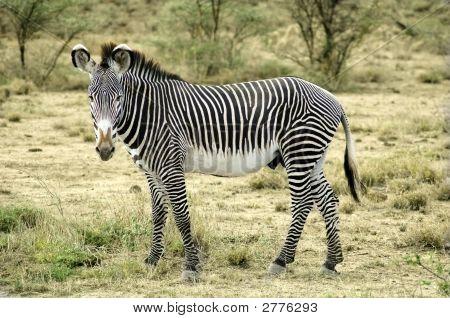 Grevy Zebra In The Desert