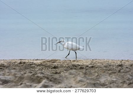 White Heron Walking On The Beach And Looking For A Food