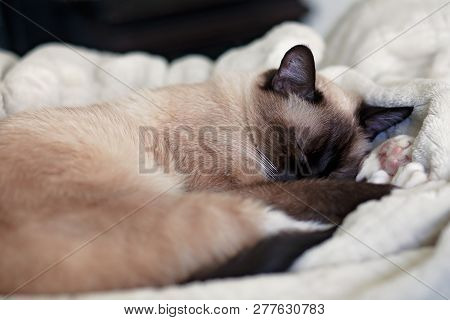 Young, Female Chocolate Point, Siamese Cat, Sleeping On A Plush, White Blanket