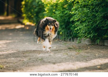 The Running Tricolor Rough Collie, Scottish Collie, Long-haired Collie, English Collie, Lassie Adult