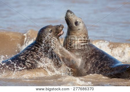 Animal Emotion. Loving Seal Couple Having Fun In The Sea. Love And Affection Displayed By Wildlife C