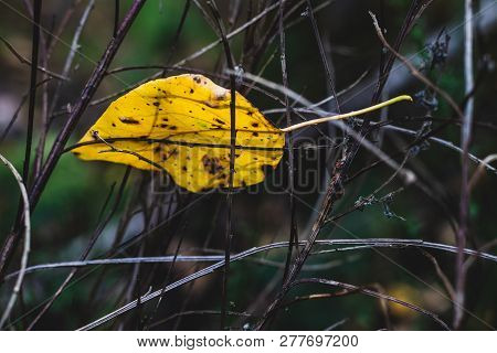 Brown Golden Dead Fallen Autumn Leaf On A Twiggy Branch Background