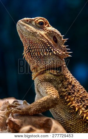 Beautiful Lizard Bearded Agama, Pogona Vitticeps