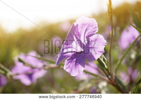 Beautiful Ruellia Tuberosa Flower In Nature Garden